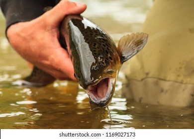 Releasing A Brown Trout Back To The River