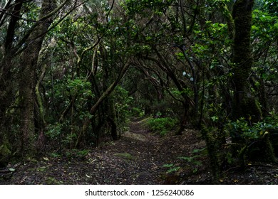 Relict Anaga Forest on the slopes of the Macizo de Anaga mountain range. Tenerife. Canary Islands. Spain.