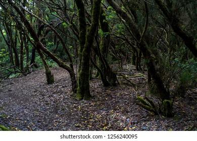 Relict Anaga Forest on the slopes of the Macizo de Anaga mountain range. Tenerife. Canary Islands. Spain.