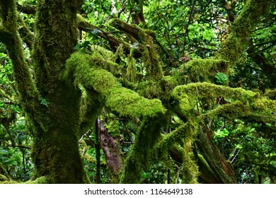 relict forest of garajonay national park on la gomera canary island in spain