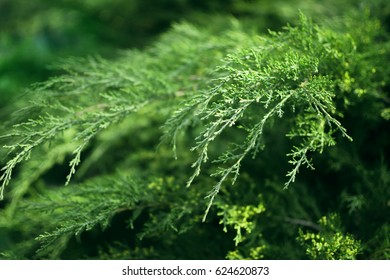 Relict green bush close up, microbiota decussata, greenery, nature background, selective focus, shallow focus