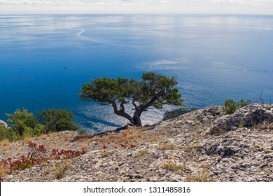 Relict juniper tree (Juniperus excelsa) on a cliff above the sea. Novyy Svet, Crimea, sunny day in September.
