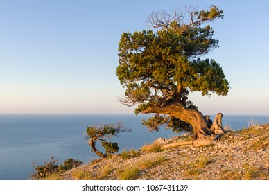 Relict junipers (Juniperus excelsa), illuminated by the morning sun, on the slope of the mountain above the sea. Karaul-Oba, Novyy Svet, Crimea.