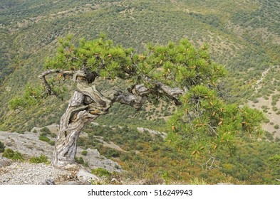 Relict pine on a mountainside. Crimea.