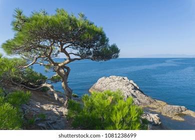 Relict pine on a rocky seashore. Cape Kapchik, Novyy Svet, Crimea.