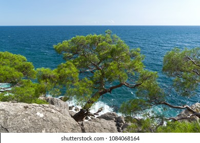 Relict pine on a rocky seashore against the backdrop of the sea. Karaul-Oba, Novyy Svet, Crimea.