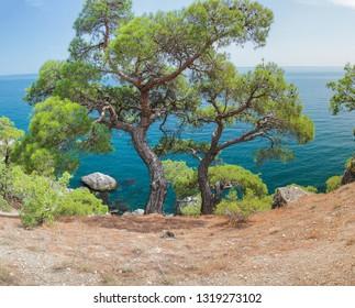 Relict pine on a rocky seashore against the backdrop of the sea. Karaul-Oba, Novyy Svet, Crimea.