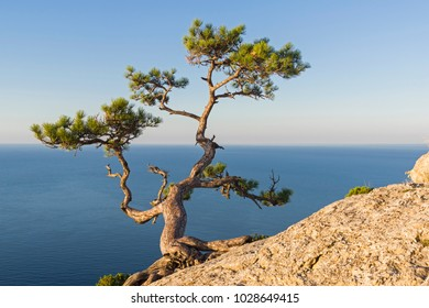 Relict pine on a steep rocky slope above the sea. Karaul-Oba, Novyy Svet, Crimea.