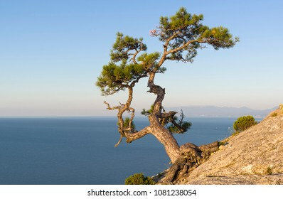 Relict pine on a steep rocky slope above the sea against a cloudless sky. Karaul-Oba, Novyy Svet, Crimea.
