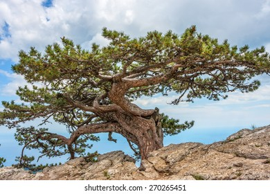Relict pine tree in the Crimean mountains. High rocks Ai-Petri of Crimean mountains. Black sea coast and blue sky with clouds