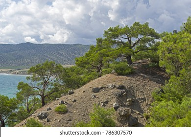 Relict pines on a steep seashore. Sunny summer day. Karaul-Oba, Novyy Svet, Crimea.