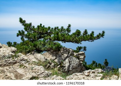 Relict rock on the top of the cliff with lonely pine against the background of a cloudless sky. Crimea