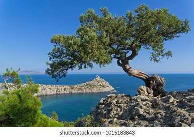 Relict tree-like juniper (Juniperus excelsa) against a cloudless sky. Coast of the Black Sea, Novyy Svet, Crimea.