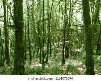 Relict yew and boxwood grove in the Caucasus Nature Reserve (UNESCO World Heritage Site), Sochi, Krasnodar Krai, Russia