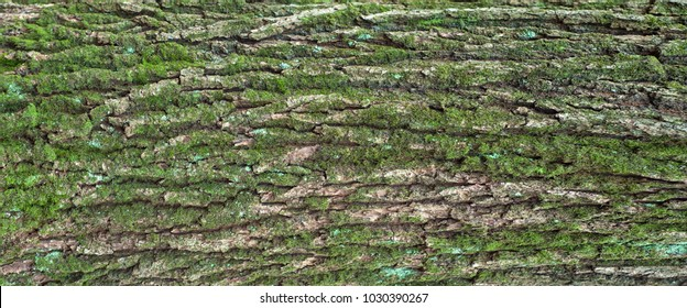 Relief texture of the bark of oak with green moss and lichen. Panoramic photo of a tree bark texture.