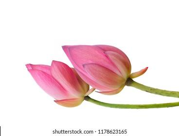Religious symbols,Pink Lotus bud isolated on white background.