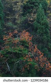 Remainder persimmon and cedar