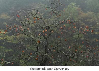 Remainder persimmon in rain
