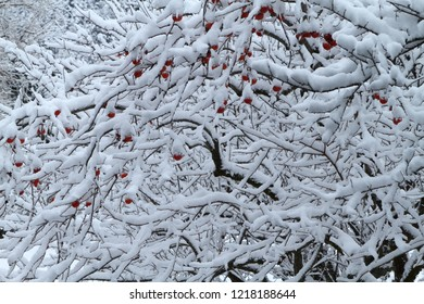 Remainder persimmon and snow