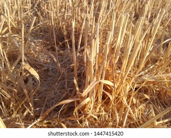 The remains of the cereal after passing the combine. End of season of barley. Food for the sheep. Summer in Spain.