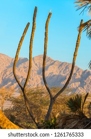 Remains of the most northern distribution of  Doum Palms in the world, located near Eilat, Israel