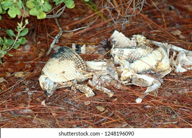 Remains of a Nine-banded Armadillo (Dasypus novemcinctus) in central Florida