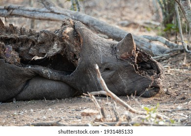 The Remains of a poached White Rhino seen on a safari in South Africa, with it's front horn chopped off.