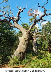 The remains of two ancient oaks stand in Sherwood Forest, twisted and gnarled against a blue sky