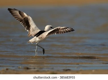 Remarkable black and white wader bird  Dromas ardeola, Crab Plover with outstretched wings in shallow water on sand beach of Zanzibar island during migratory winter season.