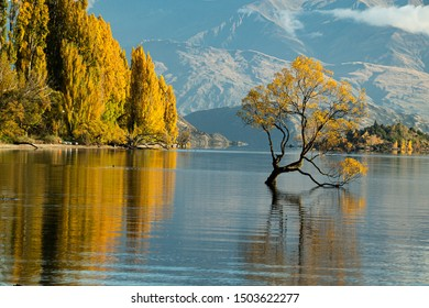Remarkable landscape of colorful autumn Wanaka Tree reflection on Wanaka Lake with sunrise in the fresh morning, most popular photographed tree in South New Zealand.