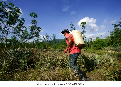Rembau, Malaysia - March 12 2018 : Unidentified name agricultural workers spraying pesticide in planting pineapple in malaysia.