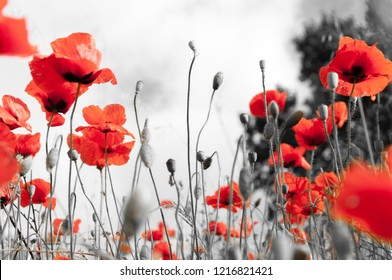 Remebrance Day Background, black and white with red poppies