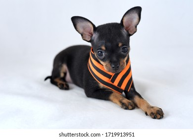 Remember. Honour. Proud. Black and tan smooth-haired Russian toy terrier with orange and black Saint George's ribbon (the Georgian ribbon), the symbol of victory over fascism, on a white background.