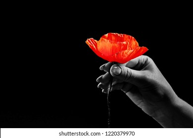 Remembrance days concept.  Red poppies on a black background. Copy Space