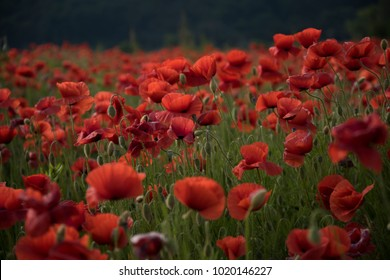 The remembrance poppy - poppy appeal. flower for Remembrance Day, Memorial Day, Anzac Day in New Zealand, Australia, Canada and Great Britain.