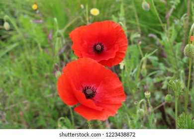 Remembrance poppy flowering plant
