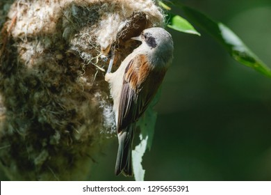 Remiz pendulinus. The nest of the Penduline Tit in nature. Russia, the Ryazan region (Ryazanskaya oblast), the Pronsky District.