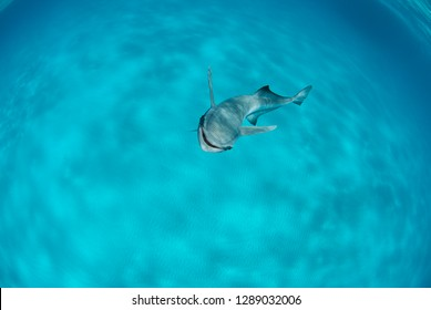 Remora in clear blue water
