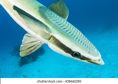 Remora fish up close