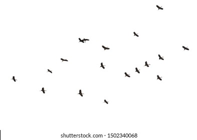 Remote photo a flock of Egrets birds are flying in the sky. Flying around in the sky. Egret isolated and white background. With clipping path.