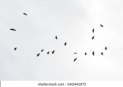 Remote photo many Egret are flying in the sky. Flying around in the sky and white background.