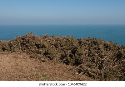 Removal of Common Gorse (Ulex europaeus) on a Cliff Top with the Atlantic Ocean in the Backgroundon the South West Coast Path between Portreath and Hayle in Rural Cornwall, England, UK