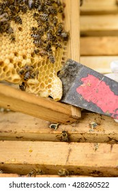 Removing a queen cell with the floor chisel from a honeycomb frame with bees