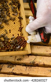 Removing a queen cell from a honeycomb frame with bees