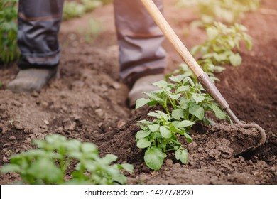 Removing weeds from soil of potatoes, Senior elderly man wielding hoe in vegetable garden.