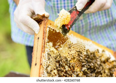 Removing wild assembled honeycomb in beehive frames by the beekeepers from those is flowing fresh honey