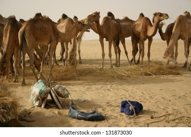 A remuda of camels in the Sahara desert of mali is a parking lot for Berber nomads who run caravans