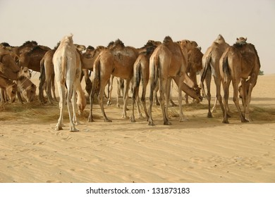 A remuda of dromedary camels is parked before loading salt in a caravan operated by Berber nomads in the sahara desert of Mali