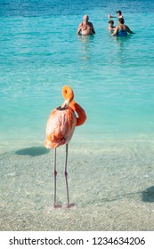 Renaissance Islands, Aruba - November 5, 2018: A Pink Flamingo Grooming Himself on the Beach While Spectators Watching from the Ocean