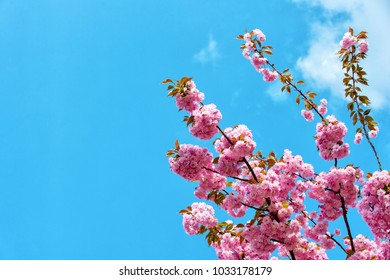 Renewal, rebirth, new life awakening. Sakura tree in blossom on blue sky. Cherry flowers blossoming in spring. Sakura blooming season concept. Nature, beauty, environment, copy space